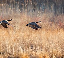 Canada Geese by Bill Wakeley