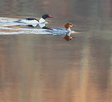 Merganser Morning Square by Bill Wakeley