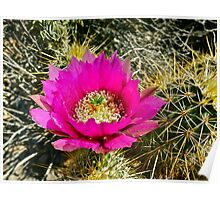 """Spring Hedgehog Cactus Bloom""  Poster"