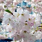 Cherry Blossoms © by Ethna Gillespie