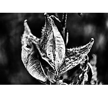 Milk Weed Pods Photographic Print