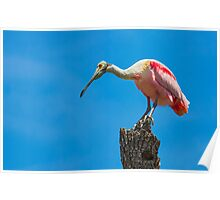 Roseate Spoonbill on Tree Trunk Poster