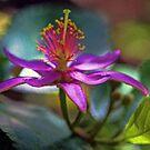 Grewia Oxidentalis (Lavender Starflower) by T.J. Martin