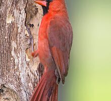 Male Northern Cardinal Clinging to a Tree by Bonnie T.  Barry
