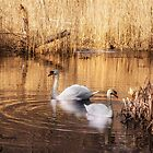 Swan Contentment by KatMagic Photography