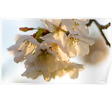 Cherry Blossoms Closeup Poster