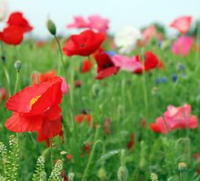 Poppy Field 512A by Cecilia Carr