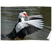Muscovy Duck............ Poster