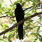 Great-Tailed Grackle by hummingbirds