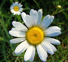 Daisies Small and Large by Cecilia Carr