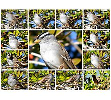 A COLLAGE OF THE NORTHERN MOCKINGBIRD IN A BOTTLEBRUSH BUSH Photographic Print