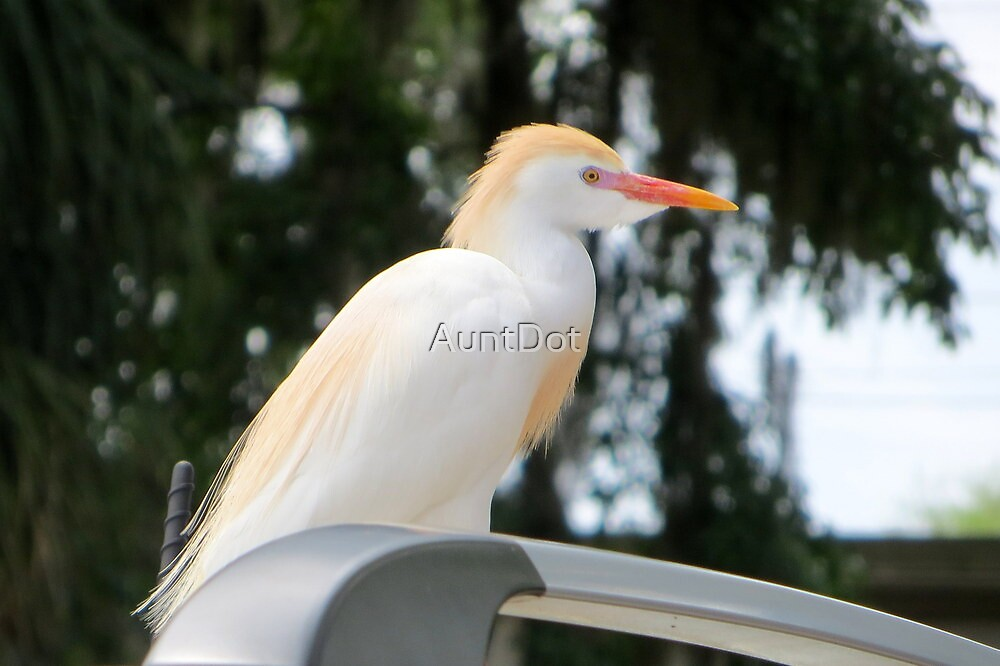 Cattle Egret by AuntDot