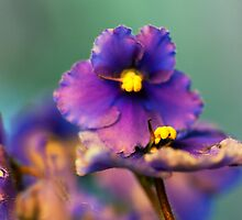 African Violet Study 4 by leifrogers