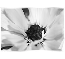 Black and White Daisy Study 3 Poster