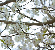 Blossoming by lisapowell