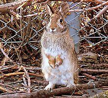 Honey Bunny by Irfan Gillani