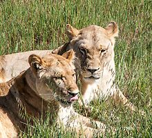 Lionesses resting by DPalmer