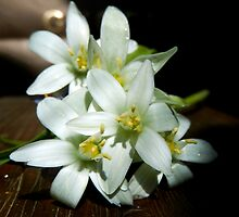 STAR OF BETHLEHEM FLOWERS by Sandra  Aguirre