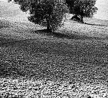 Olive trees in Volterra, Tuscany by eyeoncomo