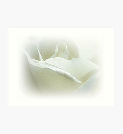 *Iceberg Bush Rose* Art Print