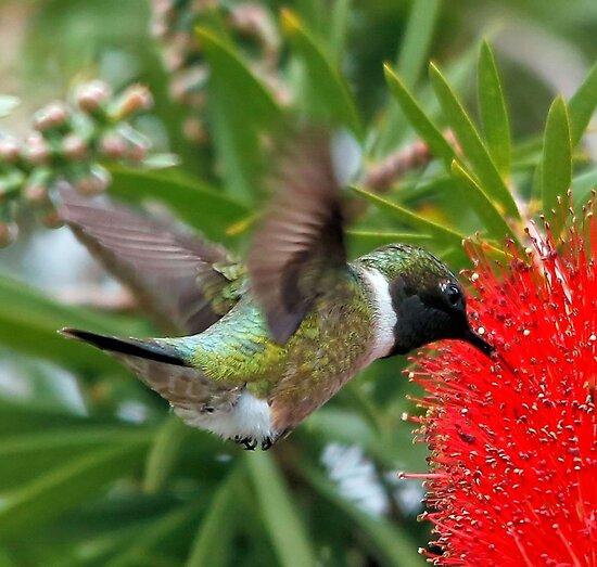 Black Chinned Hummingbird by SuddenJim