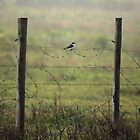 Shrike On Barbed Wire by SuddenJim