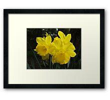 Daffodil Trio Framed Print
