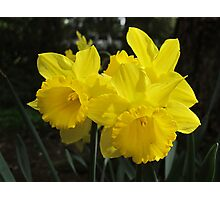 Daffodil Trio Photographic Print