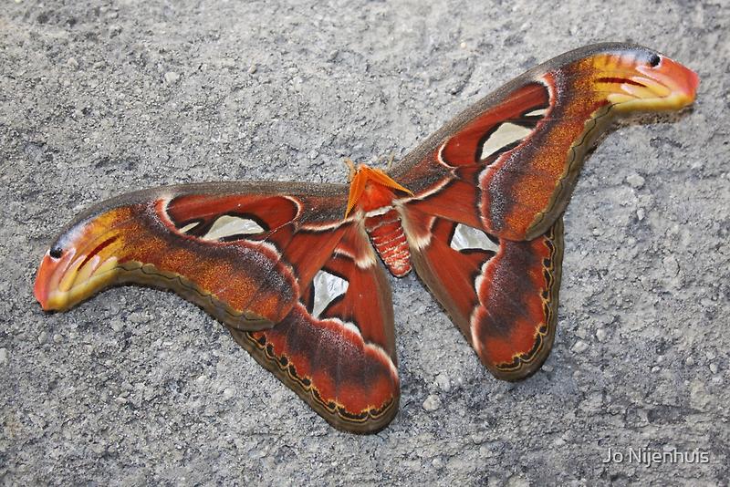 Atlas Moth by Jo Nijenhuis