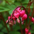 Bleeding Heart by karina5
