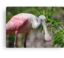 Roseate Spoonbill Looks Your Way Canvas Print