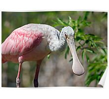 Roseate Spoonbill Looks Your Way Poster