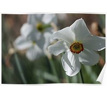white daffodils Poster