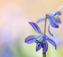 Colorful Scilla siberica (II) by Bob Daalder