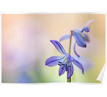 Colorful Scilla siberica (II) Poster
