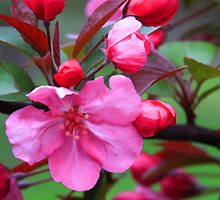 Crabapple Blossoms by Lyle Hatch
