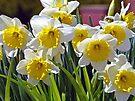 Spring Daffodils by FrankieCat