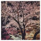Sakura - Cherry Blossom - Kyoto by Rob Price