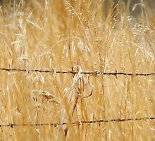 Barbed Wire & Grasses by lorilee