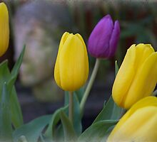 Yellow Tulips by Amar-Images