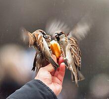 feeding sparrows by saaton