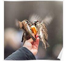 feeding sparrows Poster