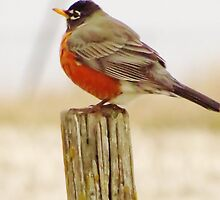 Robin on a Post by lorilee