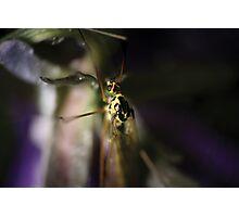 Yellow mosquito © PH. Max Facchinetti  Photographic Print