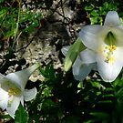 The Bermuda Easter Lily by triciamary