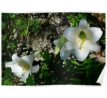 The Bermuda Easter Lily Poster