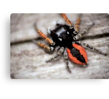Orange mini spider © PH. Max Facchinetti  Canvas Print