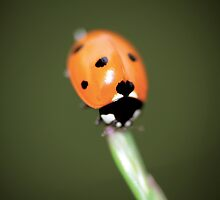 Lonely ladybug © PH. Max Facchinetti  by rootsofriot