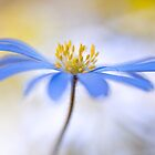 Spring Anemone by Mandy Disher