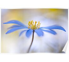 Spring Anemone Poster